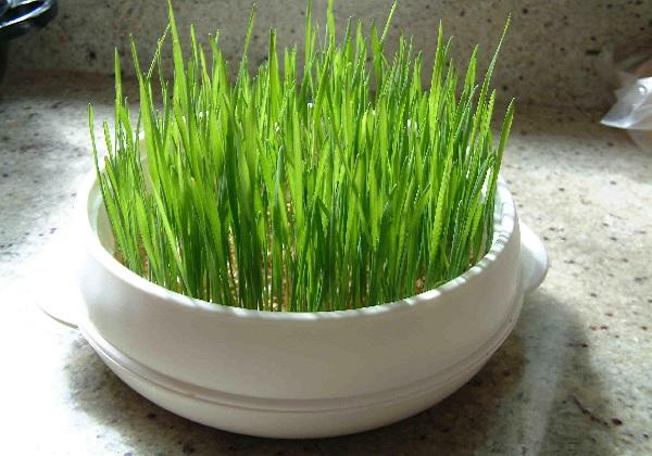 Pšenica o blagdanu Svete Lucije